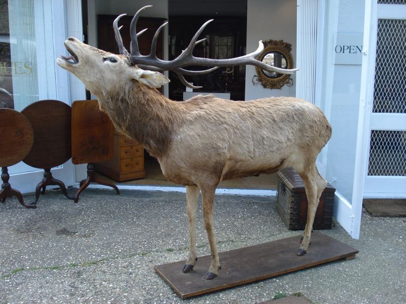 SOLD/AUSTRIAN TAXIDERMY STUFFED FIGURE OF A STAG