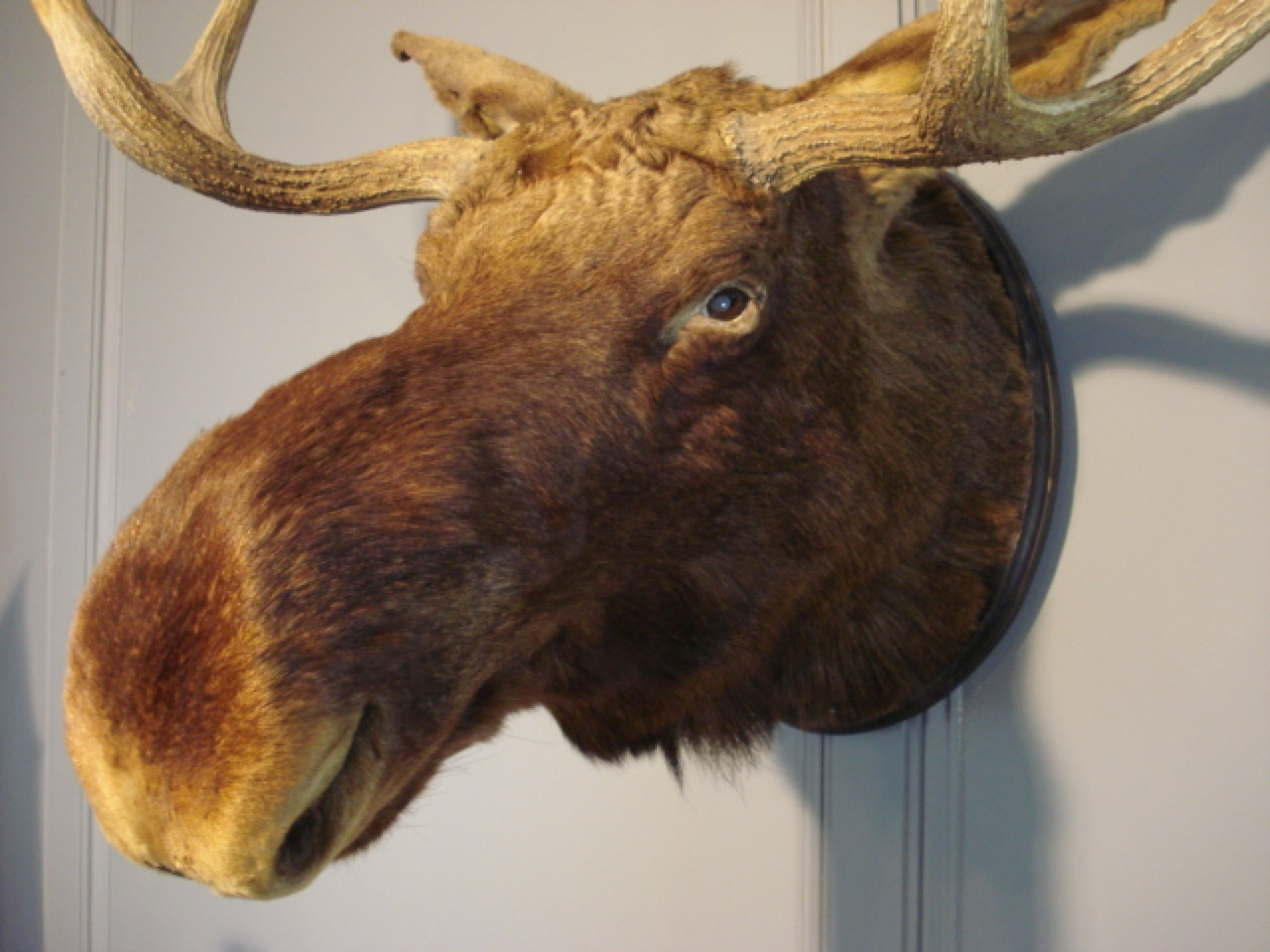 SOLD/TAXIDERMY OF A NORTH AMERICAN MOOSE